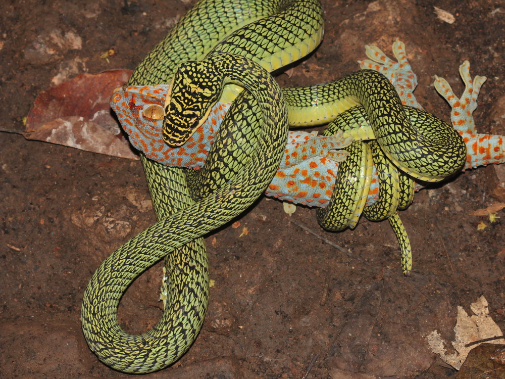 Golden Tree Snake